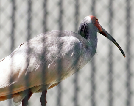 The Crested Ibis Stock Photo