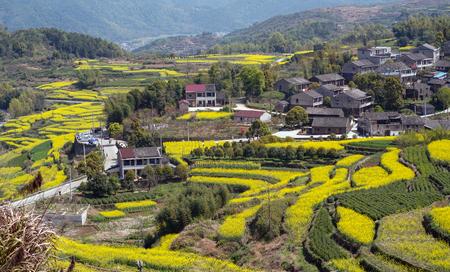Terraced rape flower scenery 版權商用圖片