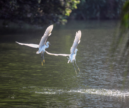egrets flying on lake