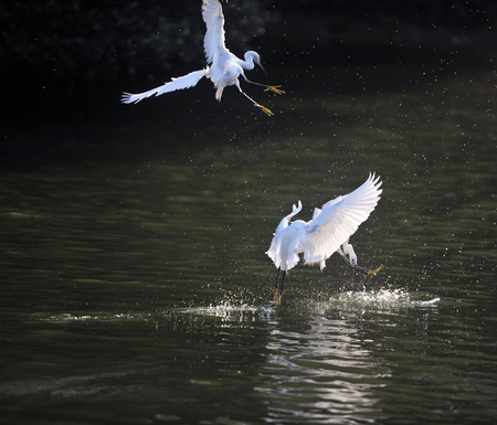 egrets snatch fish on lake