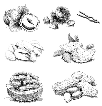 walnut tree: detailed hand drawn nuts Illustration