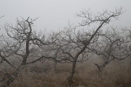 vigorous: Ancient trees in the fog