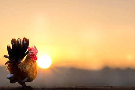 rooster on blurred beautiful sunrise sky with sun light background 版權商用圖片
