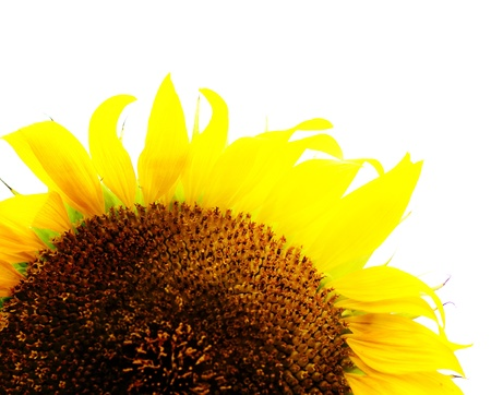 Sunflower Stock Photo - 14461938
