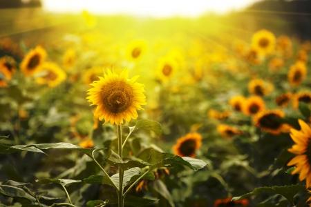 Sonnenblume Standard-Bild - 14461891
