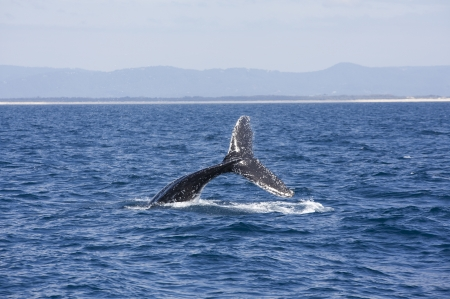 Queensland, Australia, whale jumped sea photo