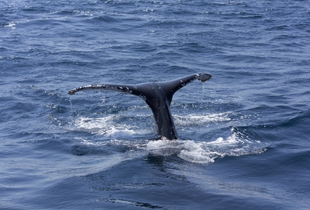 Whale tail, Queensland, Australia, whale jumped sea photo
