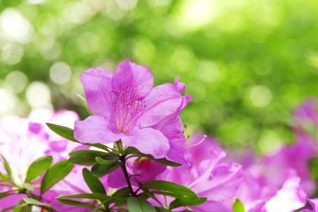 Azaleas photo