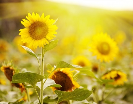 zonnebloem: Zonnebloem
