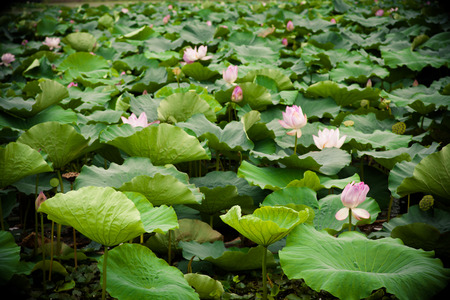 Lotus bloom in summer photo