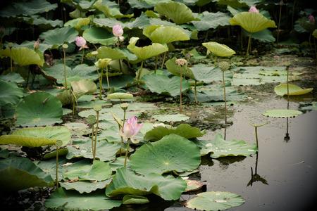 Lotus bloom in summer photo