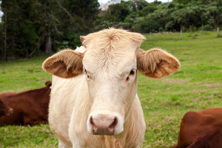 australian beef cow: Queensland cattle ranch Stock Photo