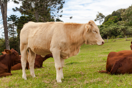 australian beef cow: cattle in the ranch Stock Photo