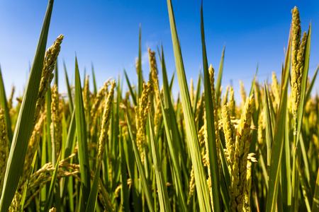 farmland: Rice farmland