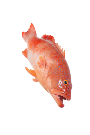 Isolated red grouper on a white background Stock Photo