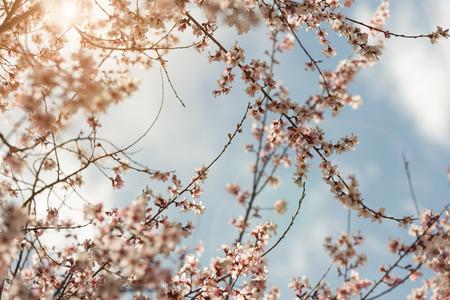 Chinas Tibets Nyingchi, blooming peach