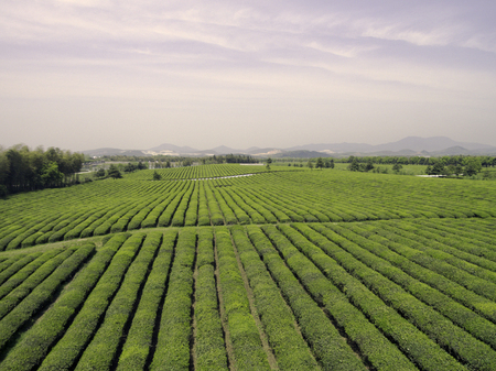 Chinas Jiangsu, rural tea plantations