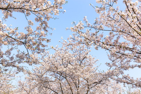 China's Jiangsu Wuxi, the park's cherry blossoms in the spring 版權商用圖片 - 80048187