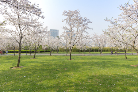 China's Jiangsu Wuxi, the park's cherry blossoms in the spring 版權商用圖片 - 81035978