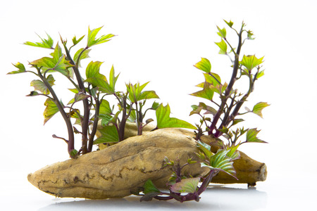 Root vegetables, autumn healthy gourmet sweet potatoes, is an important staple food for human beings Фото со стока