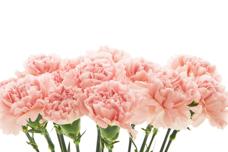 Pink carnations on white background.