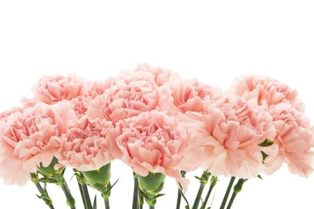 Różowe goździki na białym tle.