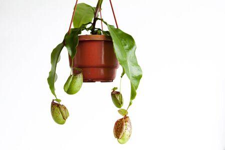 Strange herbs, hell of flies, flytrap Imagens