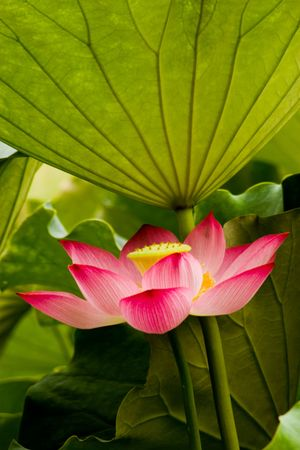 Pink lotus green lotus leaf photo