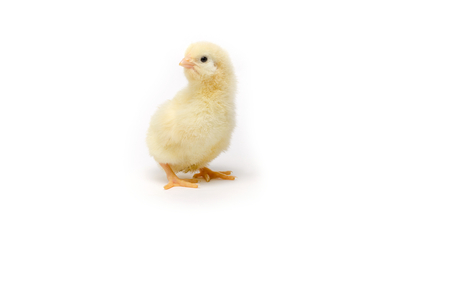 Little chicken isolated on white background Banco de Imagens