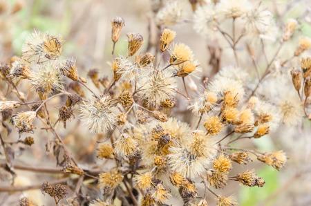 brown dry bloom grass closeup background, thailand