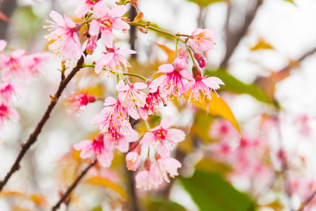 Cherry blossoms in full bloom during spring in thailand  Banco de Imagens