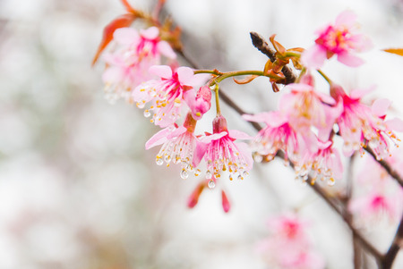 Cherry blossoms in full bloom during spring