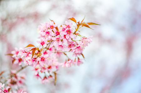 cherry Blossoms tree with blur background Banco de Imagens