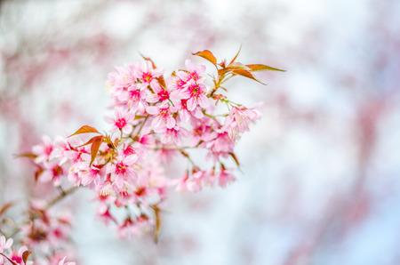 cherry Blossoms tree with blur background Standard-Bild
