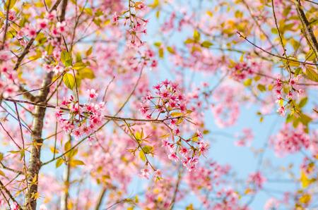 Beautiful cherry blossom, Chiang Mai, Thailand Standard-Bild