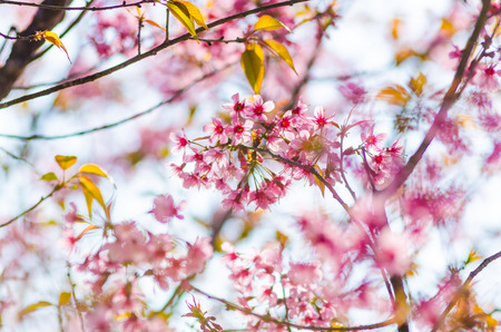 Beautiful cherry blossom, Chiang Mai, Thailand Banco de Imagens