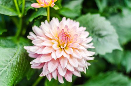 Close up Orange Dahlia hybrid flower with blurred background