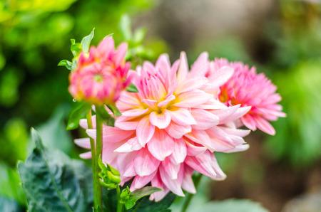 Close up Orange on pink Dahlia hybrid flower with blurred background