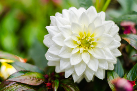 Close up white Dahlia hybrid flower with blurred background