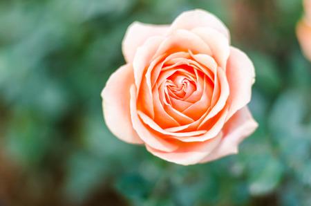 Close up orange rose with blurred background Banco de Imagens