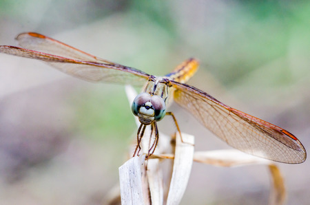 aisa: Close Up dragonfly on dry grass with blurred background Stock Photo