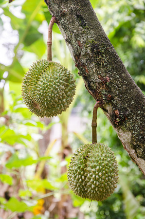 Fresh durian in the orchard at Rayong, Thailand
