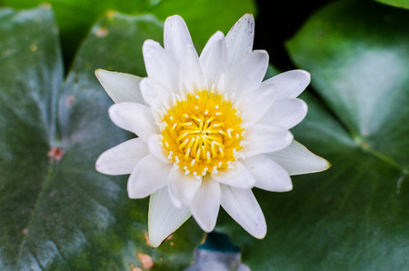 A beautiful white waterlily or lotus flower in pond Banco de Imagens