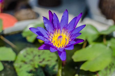 A beautiful purple waterlily or lotus flower in pond