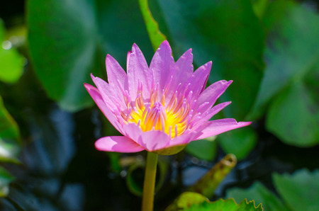 A beautiful pink waterlily or lotus flower in pond Banco de Imagens