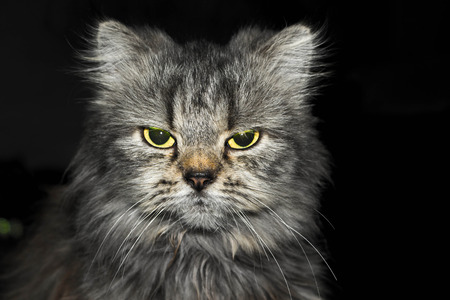 beautiful angry: Angry cat Stock Photo