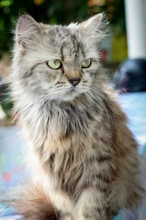 grey cat: Cute grey persian cat - angry face