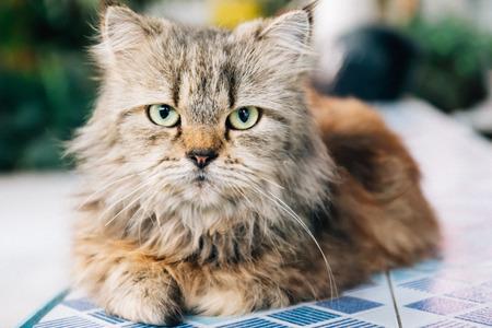 Brown Persian Cat - retro style