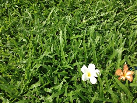 plumerias: Plumerias on green
