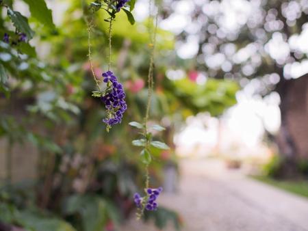 repens: The Duranta repens on my garden Stock Photo